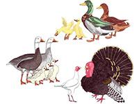 Раскраски Домашние птицы и их птенцы