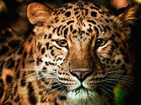 Раскраски Леопард