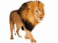 Раскраски Лев