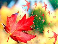 Раскраски Лист кленовый