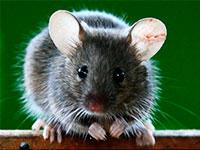 Раскраски Мышка