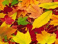 Раскраски Осенние листья
