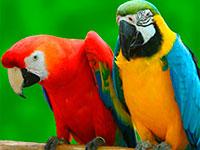 Раскраски Попугай