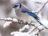 Раскраски Птицы зимой