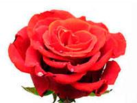Раскраски Роза цветок