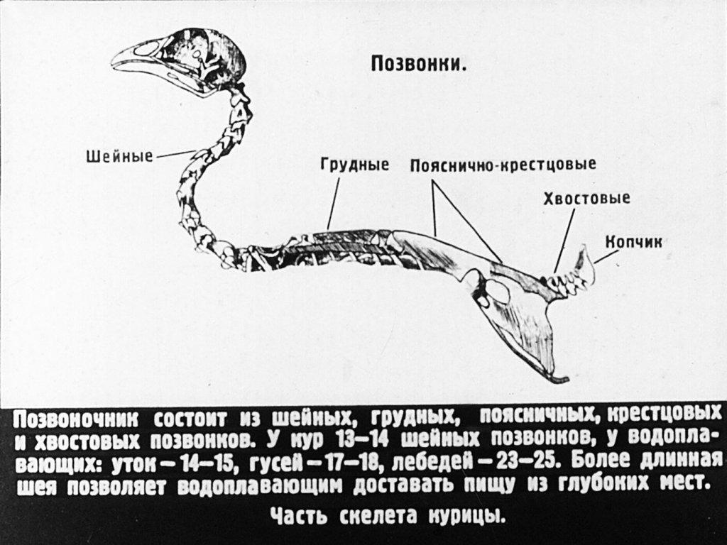 Шейный позвоночник у птиц особенности строения